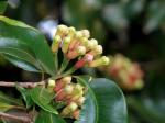clove-leaf-essential-oil
